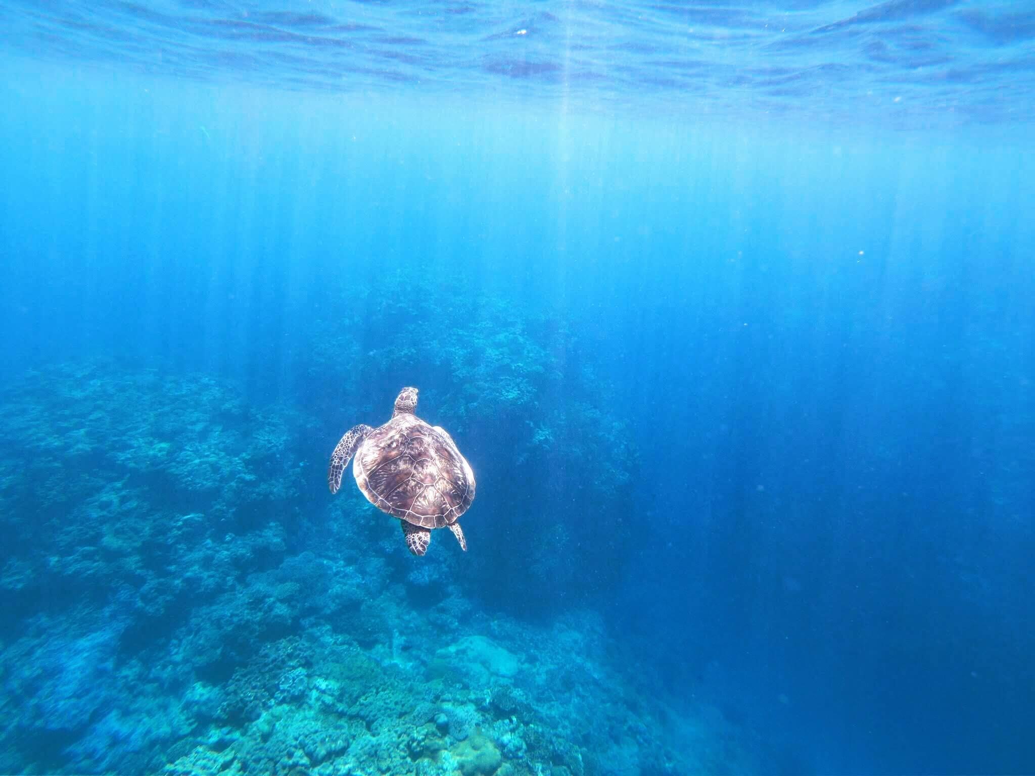 野生のウミガメ