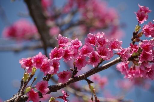 冬の奄美大島で見れるヒカンザクラ