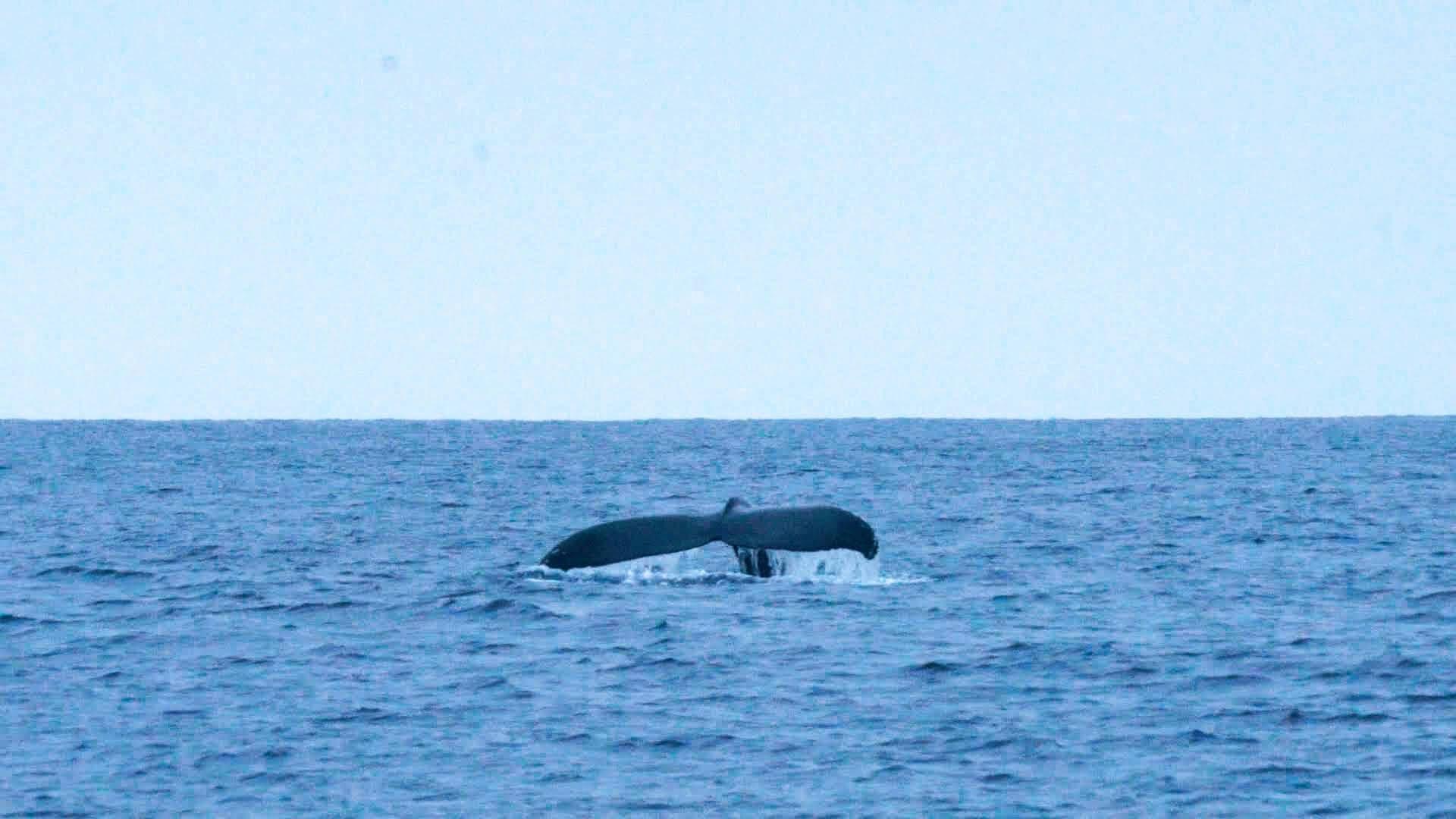 ホエールウォッチングでよく見られる、息継ぎが終わって潜水するポージング「フルークダウン」をするザトウクジラ