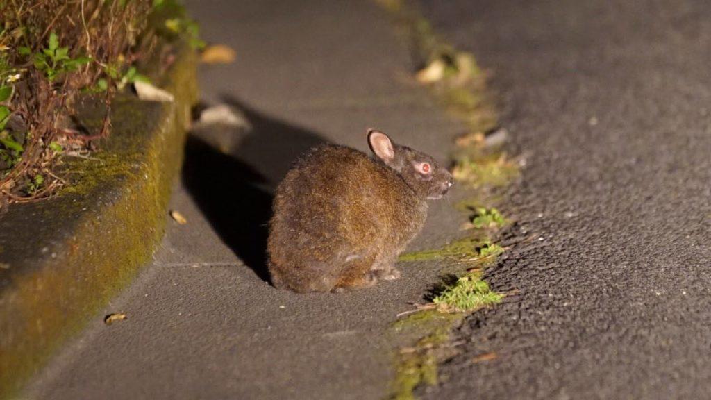 奄美大島は何県、アマミノクロウサギ