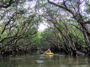 マングローブのトンネルをくぐるカヌー