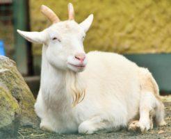 山羊、奄美大島、コロナウイルス
